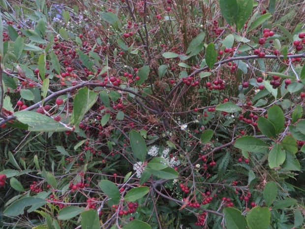 Chokeberry shrub (Aronia melanocarpa)