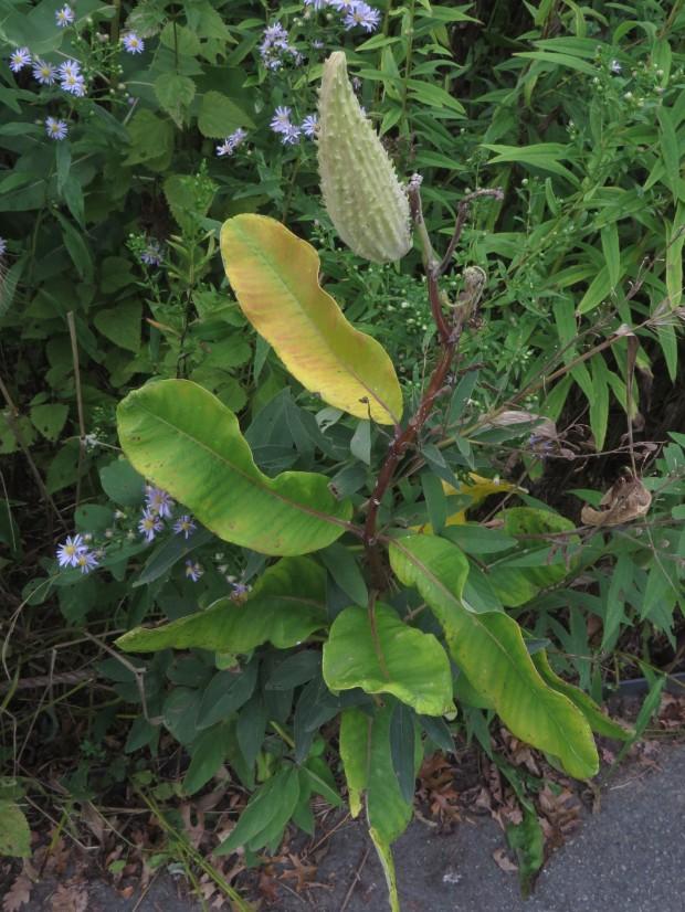 Common Milkweed (Asclepias syriaca)